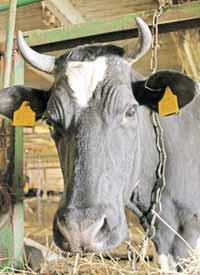 Коровий бунт