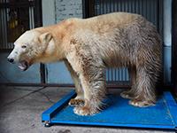 Белая медведица идёт на поправку