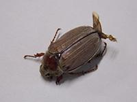 Нашествие колорадских жуков!
